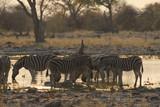 Fototapeta Sawanna - stado zebr przy wodopoju w popołudniowym słońcu na sawannie