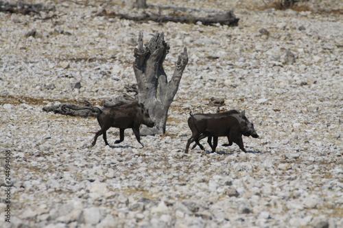 dwa guźce idące przez afrykańskie pustkowie