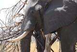 Fototapeta Sawanna - głowa starego słonia w naturalnym środowisku z bliska
