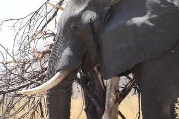 głowa starego słonia w naturalnym środowisku z bliska