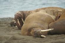 Opasłe Morsy Leżące Ciasno Obok Siebie Na Plaży Spitsbergen