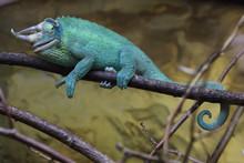 Jackson's Chameleon (Trioceros...