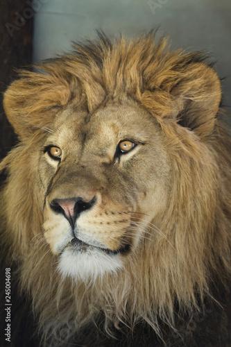 Staande foto Leeuw Lion (Panthera leo).