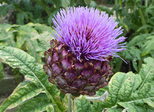 Artichoke, The Flowers Develop In A Large Head From An Edible Bud, The Individual Florets Are Purple
