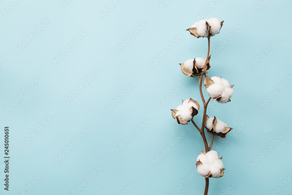 Fototapety, obrazy: Cotton flower on pastel pale blue paper background, overhead. Minimalism flat lay composition for bloggers, artists, social media, magazines. Copyspace, horizontal