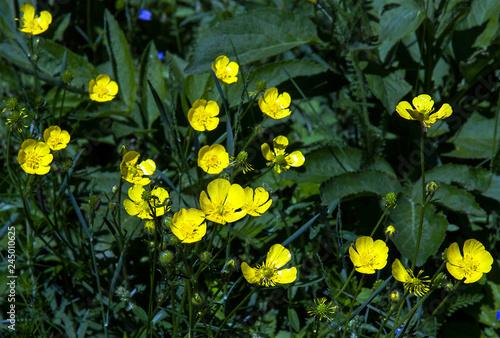 Photo Ranunculus acris is a flowering plant