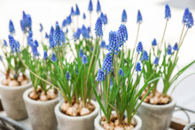 Potted Muscari Or Grape Hyacin...