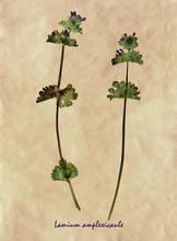 Lamium Amplexicaule In Herbarium