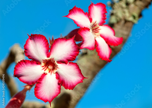 Fotografie, Obraz  Impala lily found almost exclusively in the Kruger National Park
