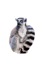 Portret Of Ring-tailed Lemur O...