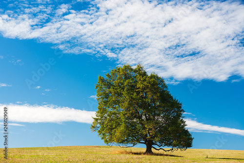 Meadow with Solitary Beech Tree under Blue Sky in Summer