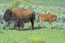 The Season For Bison Calves In Yellowstone National Park.
