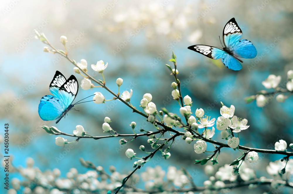 Fototapeta Cherry blossom in wild and butterfly. Springtime