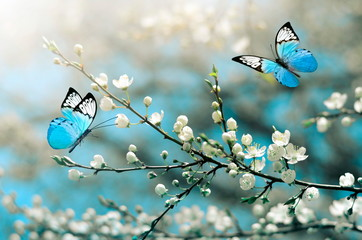 FototapetaCherry blossom in wild and butterfly. Springtime