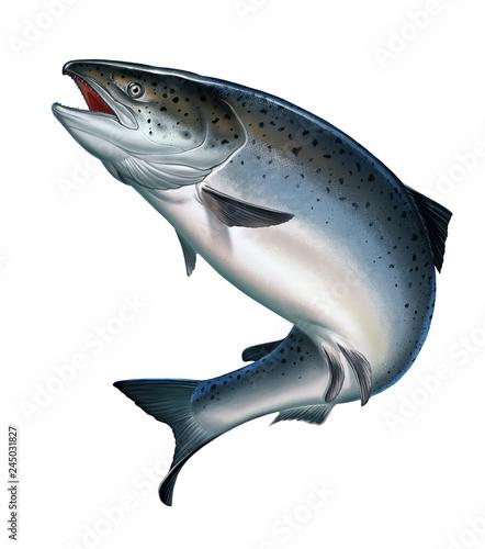 Canvas Print Atlantic salmon or pink salmon on a white background