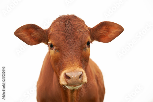 Fotografia A young brown calf, cow, looking at the camera, with clean white sky, isolated