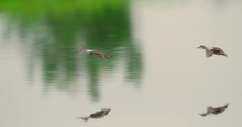 Spectacular Shot Ducks - Blue-...