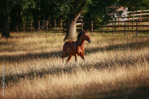 Poster Chien Horse in portraits in the morning light on the move, in the pasture..