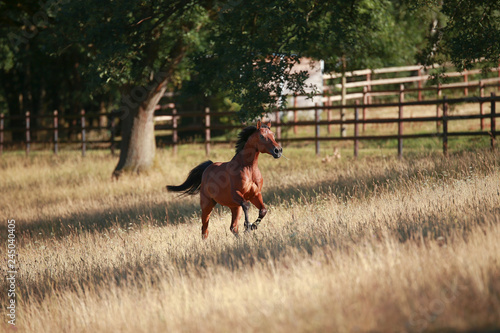 Poster Chien Horse gallops in portraits in the morning light and rages, in the pasture..