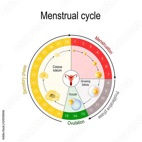 Obraz na płótnie Menstrual cycle chart