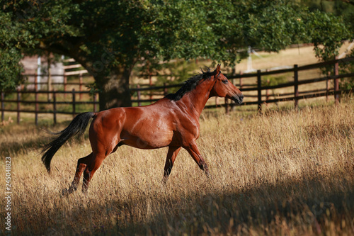 Horse gallops in portraits in the morning light and rages, in the pasture..