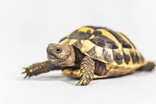 Single Hermans Tortoise Isolat...