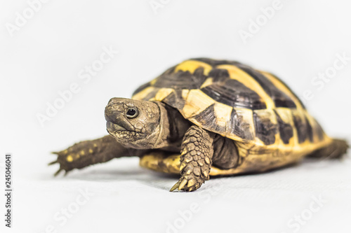 Poster Tortue Single Hermans Tortoise isolated on white background