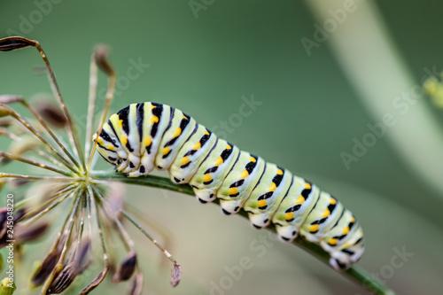 Fotografía  Caterpillar on Dill