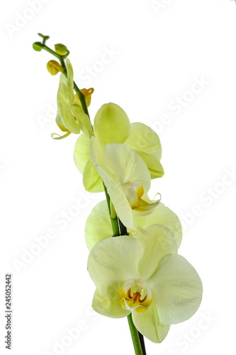 Poster Muguet de mai beautiful yellow Phalaenopsis orchid flowers, isolated on white background