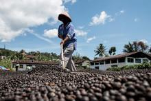 A Farmer Was Drying Coffee Beans