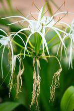 White Beach Spider Lily Flower...