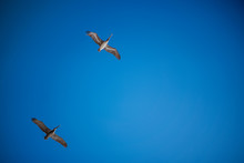 2 Pelicans Flying Overhead With Bright Blue Sky And Clouds