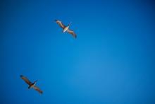 2 Pelicans Flying Overhead Wit...