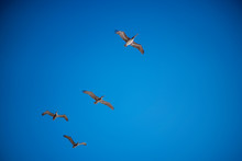 4 Pelicans Flying Overhead With Bright Blue Sky And Clouds