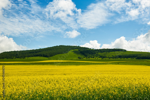 Photo Stands Melon The rape flower fields of Hulubuir grassland, China.