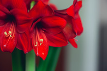 Bouquet Of Large Red Blooming Flowers