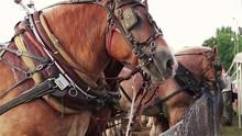 Draft Horses Bridled And Waiti...