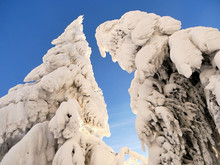 Abstract Snowy Frosty Trees An...