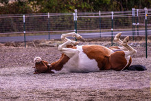 A Horse Lying And Rolling On A Back Scratching His Back