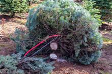 Fresh Cut Fir Of A Christmas Tree Farm, Hand Bow Saw Lays Across A Stump