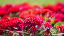Celosia Cristata Or Cockscomb Flower Red Field Garden Colorful Blossom And Pathway In The Summer Garden Park