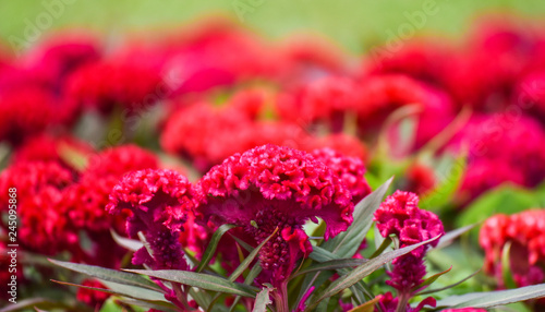 Fototapeta Celosia cristata or cockscomb flower red field garden colorful blossom and pathw
