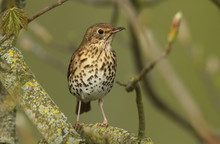 A Beautiful Song Thrush (Turdus Philomelos) Perched On A Branch In A Tree.