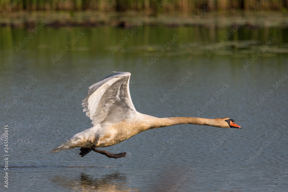 one mute swan (cygnus olor) running on water surface, spread wings