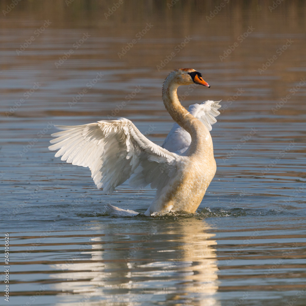 mute swan (cygnus olor) shaking wings on water surface