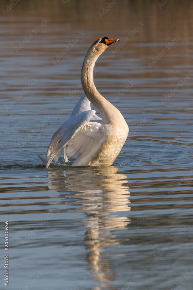 one mute swan (cygnus olor) shaking wings on water surface