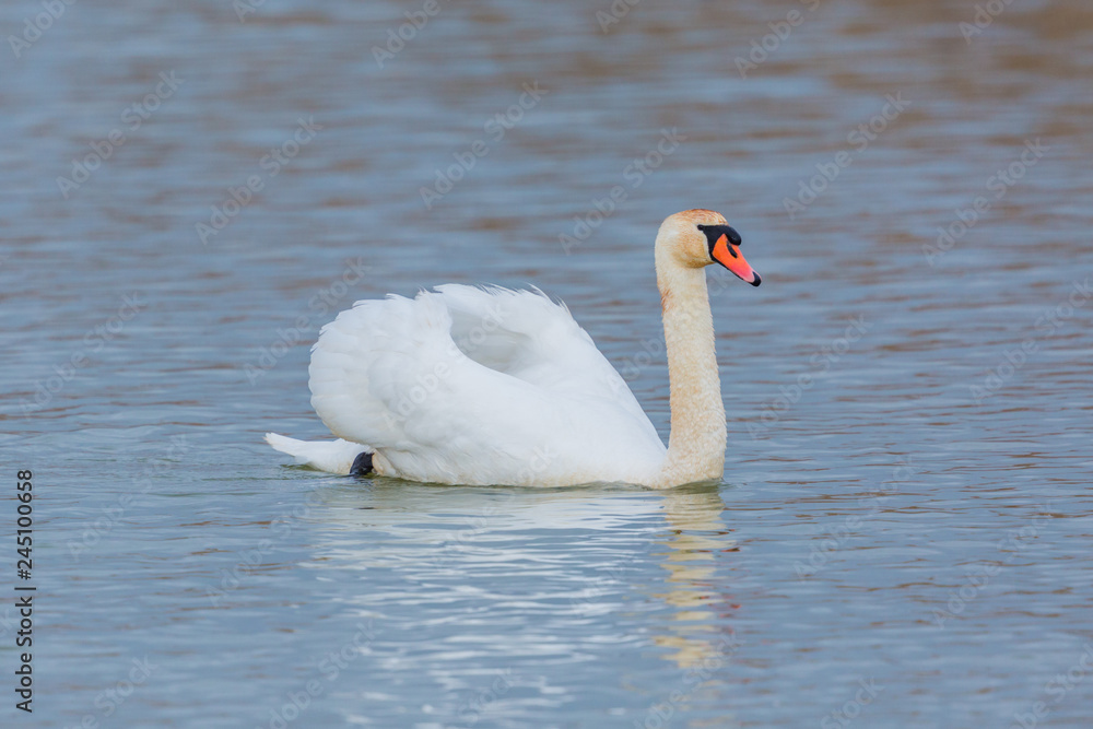 one mute swan (cygnus olor) swimming in blue water