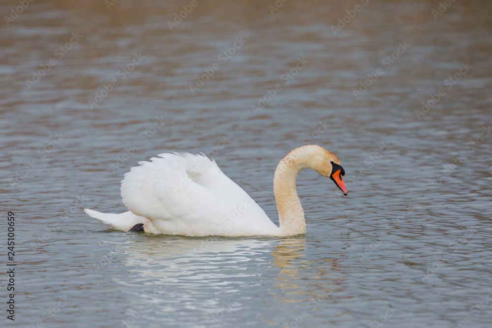 one mute swan (cygnus olor) swimming on water surface