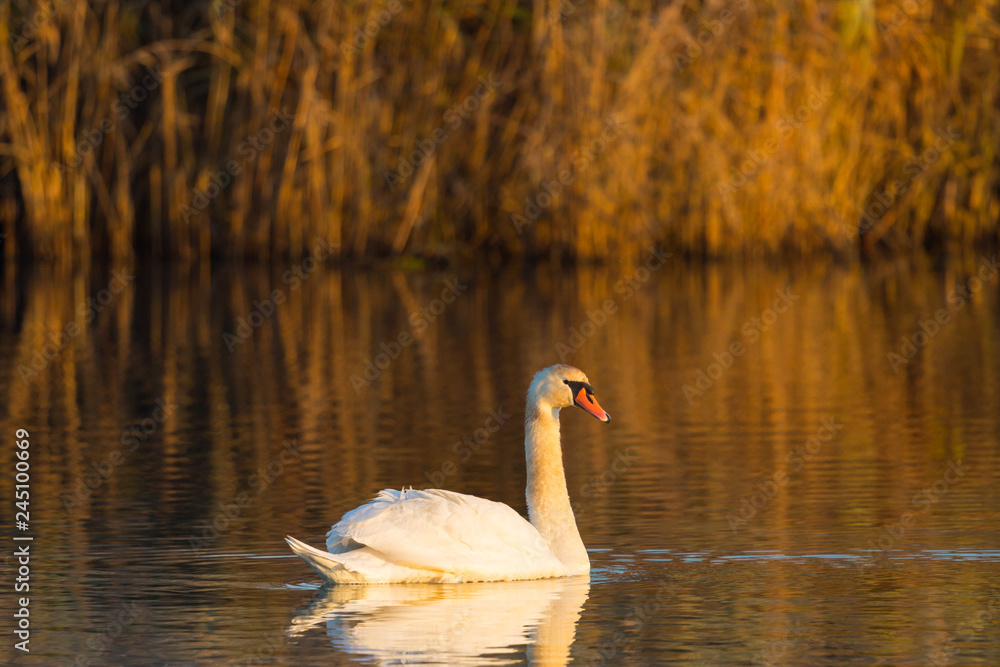 one mute swan (cygnus olor) swimming, orange evening light, reed