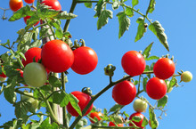Close Up Of Fresh Red Ripe Tomatoes Growing In The Vegetable Garden With Beautiful Blue Sky Background.